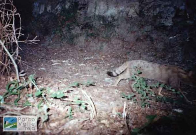 Il Gatto selvatico