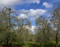 Potatura dell'olivo e difesa dell'oliveto