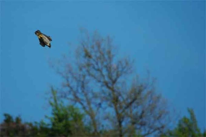 Il Falco Pellegrino Un importante indicatore ambientale