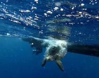 Tartaruga marina. Torna a nuotare, dopo le cure e la riabilitazione