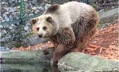 Straordinario salvataggio di tre orsi albanesi