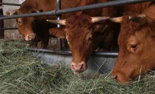 Foraggio radioattivo somministrato alle vacche di un'azienda agricola della Val di Vara