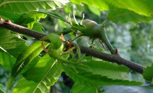 Prosegue la lotta biologica al Cinipide del castagno