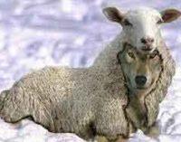Quando il lupo sta con gli agnellini