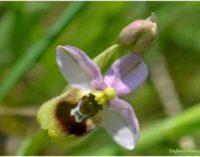 """Ophrys tenthredinifera nella Riserva naturale """"Sughereta di Pomezia"""""""