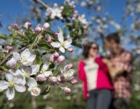 Festa della Fioritura a Lana (BZ) e dintorni dal 1° al 15 aprile  carrellata di eventi su aspetti floreali e gastronomici della primavera.