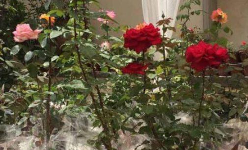 A Boscoreale la III edizione della Festa della rosa