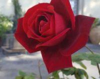 Festa Della Rosa – III Edizione