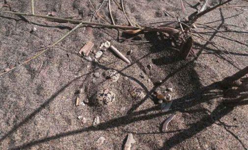 Ardea, trovati in spiaggia uova uccelli rari: al via campagna di salvaguardia del fratino
