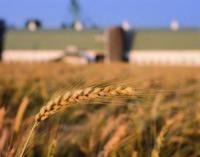 Agricoltura e grano duro. Compag cerca un protocollo d'intesa per garantire la qualità ai consumatori italiani