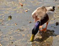 Lago Albano, vietato somministrare alimenti alle anatre selvatiche