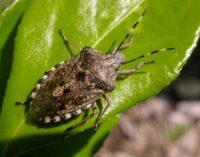 Cimice asiatica, Australia e Nuova Zelanda combattono l'insetto…