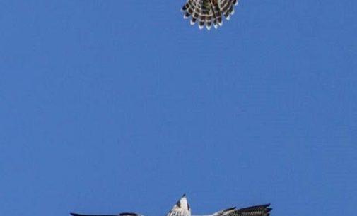 Falchi pellegrini in volo sul cielo del Parco
