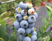 European Blueberry 2018: a Trento il focus scientifico europeo sul mirtillo