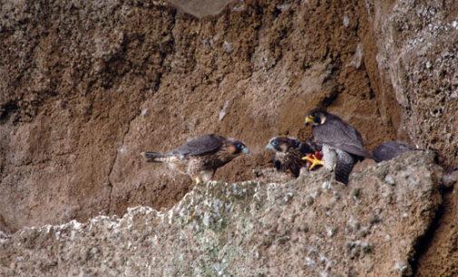 Nidificazione dei Falchi pellegrini, diretta dal nido