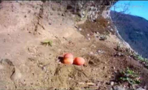 Diretta dal nido, i falchi abbandonano le uova