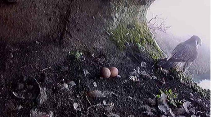 Nidificazione del falco pellegrino, niente di fatto per quest'anno