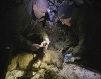 ANIMALI, WWF: MUORE INVESTITA LA LUPA NEL PARCO DEI MONTI SIBILLINI