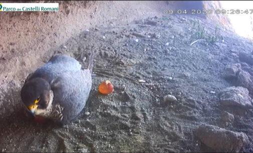 #FalchinDiretta, si è schiuso il primo uovo!