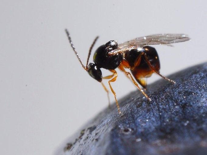 Importante passo in avanti nella lotta contro il moscerino dei piccoli frutti