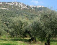 Raccolta delle olive, per il Capol l'olio sarà poco ma buono