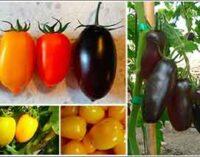 Alimentazione: per il San Marzano nuovi colori, sapori e proprietà nutritive