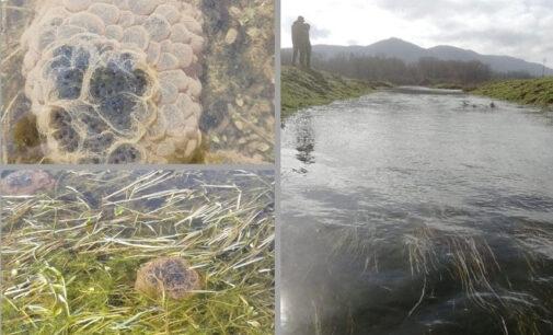 Conteggio delle ovature della Rana agile del pantano della Doganella