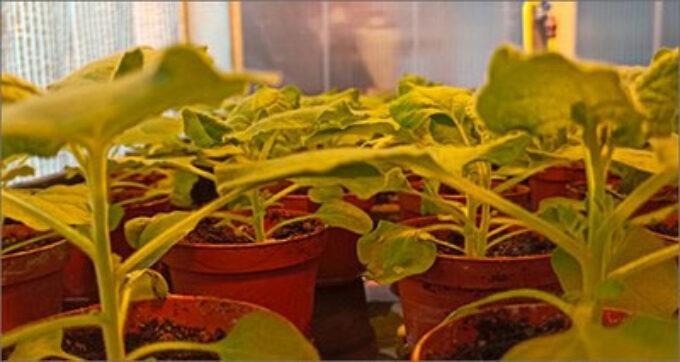 Covid: team scienziati propone piante 'biofabbrica' per produrre vaccini e anticorpi