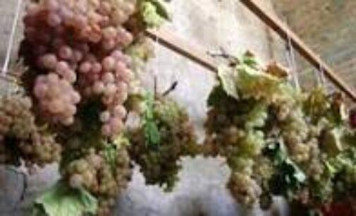 Estate 2021. Vigne Aperte in 460 Comuni italiani. Dopo il progetto pilota di Alba (Cn), le Città del Vino portano la vendemmia turistica nei territori enologici