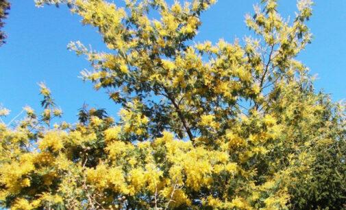 Tempo di mimose in ogni giornata dell'anno