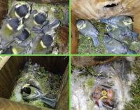 Cassette nido nel bosco, un rifugio sicuro per cinciarelle e cinciallegre
