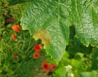 Viticoltura bio, raggiunti i 1300 ettari in Trentino (+6%). L'impegno FEM in linea con la strategia Farm to Fork