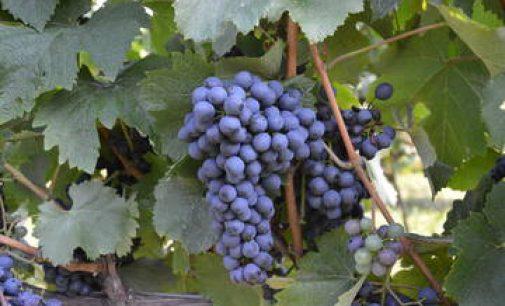 """Prima rassegna, dei vini """"resistenti"""""""